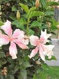 Orquidea di rosa di Bogota della via del giardino Fotografia Stock