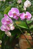 Orquidea-Phalaenopsis hybr Montigo in den Wassertropfen lizenzfreies stockbild
