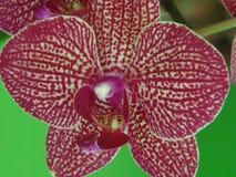 Orquidea Royalty Free Stock Photo