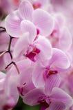 Orquids roses Photos stock