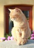 Orrange nobles cat Stock Images