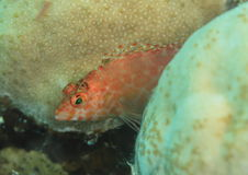 Orrangespotted goby Royalty Free Stock Photos
