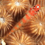Orrangespotted goby Royalty Free Stock Photo