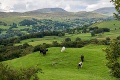 从Orrest头的Windermere湖在有母牛的草甸 图库摄影