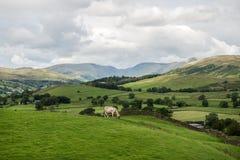 从Orrest头的Windermere湖在有母牛的草甸 免版税库存图片