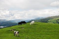 从Orrest头的Windermere湖在有母牛的草甸 库存照片