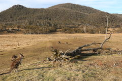 袋鼠在小牧场- Orroral谷 库存图片