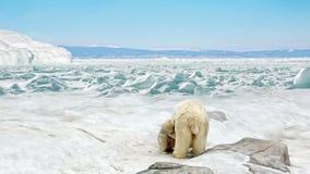 Orsa con il supporto dei cuccioli di orso su neve stock footage