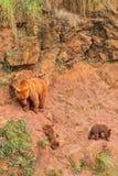 Orsa di Brown con i cuccioli di orso Immagine Stock Libera da Diritti