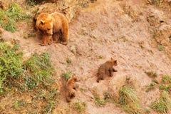 Orsa di Brown con i cuccioli di orso Immagini Stock