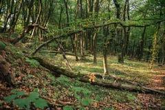 Orsacchiotto che si siede in un albero Fotografie Stock