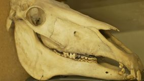 Orse skull on lab. Large horse skull on biology laboratory stock video