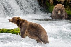 Orsi bruni alle cadute del fiume dei ruscelli immagini stock