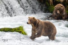 Orsi bruni dell'Alaska alle cadute dei ruscelli fotografia stock