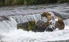 Orsi bruni di Katmai; Cadute dei ruscelli; L'Alaska Fotografia Stock Libera da Diritti