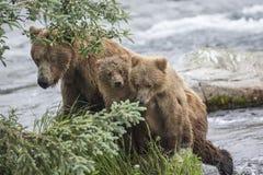 Orsi bruni di Katmai; Cadute dei ruscelli; L'Alaska; U.S.A. Immagine Stock Libera da Diritti