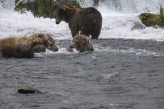 Orsi bruni di Katmai; Cadute dei ruscelli; L'Alaska; U.S.A. fotografia stock libera da diritti