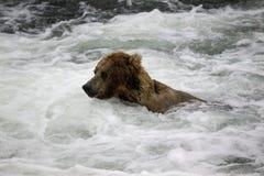 Orsi bruni di Katmai; Cadute dei ruscelli; L'Alaska; U.S.A. immagini stock