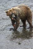 Orsi bruni di Katmai; Cadute dei ruscelli; L'Alaska; U.S.A. immagine stock