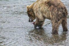 Orsi bruni di Katmai; Cadute dei ruscelli; L'Alaska; U.S.A. Fotografia Stock