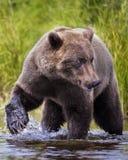 Orsi bruni di Katmai; Cadute dei ruscelli; L'Alaska; U.S.A. immagini stock libere da diritti