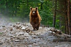 Orsi bruni nei Carpathians. Immagine Stock