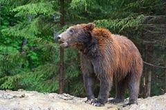 Orsi bruni nei Carpathians. fotografia stock libera da diritti