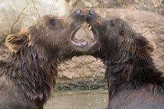 Orsi bruni siberiani Fotografie Stock