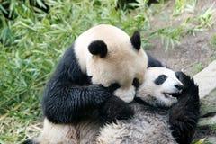 Orsi del panda fotografia stock