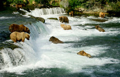 Orsi dell'orso grigio Immagini Stock