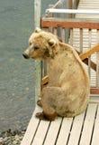 Orsi dell'orso grigio Fotografia Stock Libera da Diritti