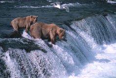 Orsi dell'orso grigio Fotografie Stock Libere da Diritti