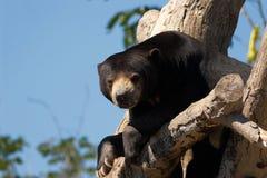 Orsi di bradipo Fotografie Stock Libere da Diritti
