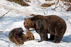 Orsi di Brown (arctos del Ursus) Fotografia Stock Libera da Diritti