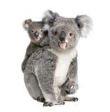 Orsi di Koala davanti ad una priorità bassa bianca Immagini Stock
