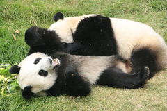 Orsi di panda gigante (Ailuropoda Melanoleuca), Cina Fotografia Stock