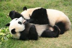 Orsi di panda gigante che rotolano insieme Fotografie Stock