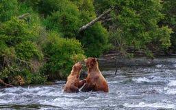 Orsi grigii dell'Alaska Immagini Stock Libere da Diritti