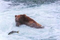 Orsi grigii dell'Alaska fotografia stock