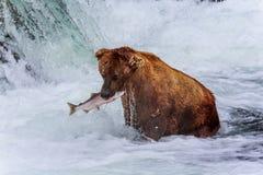 Orsi grigii dell'Alaska fotografie stock