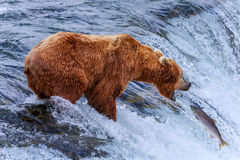 Orsi grigii dell'Alaska immagine stock libera da diritti
