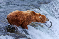 Orsi grigii dell'Alaska fotografia stock libera da diritti