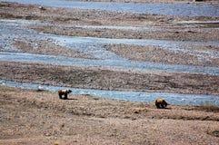 Orsi grigii lungo la corrente al parco nazionale di Denali Fotografie Stock Libere da Diritti