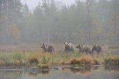 Orsi nella nebbia Immagini Stock