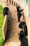 Orsi neri Sit Stand Lie alla barriera dalla parete in zoo Fotografia Stock Libera da Diritti