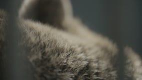 Orsi pelliccia, fine su stock footage
