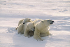Orsi polari Fotografia Stock