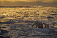 Orsi polari Immagine Stock Libera da Diritti