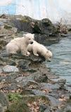 Orsi polari appena nati Fotografie Stock Libere da Diritti