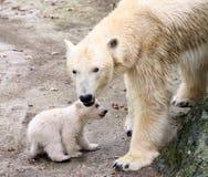Orsi polari appena nati Fotografia Stock Libera da Diritti
